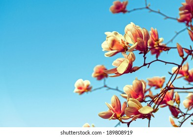 Beautiful spring flowers and magnolia background with clear, blue sky Vintage / retro flower / spring background