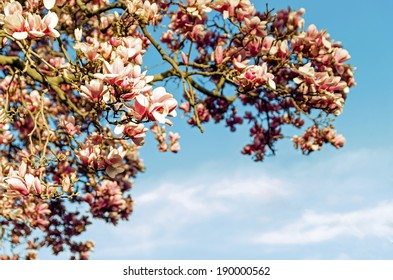 Beautiful spring flowers and magnolia background with clear, blue sky Floral / Flower / Vintage / Spring / Nature Background