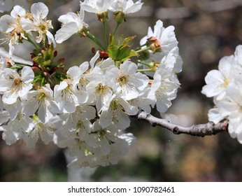 beautiful spring flowers on the branches of a cherry tree