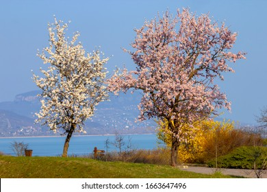Beautiful spring hungarian landscape. Blooming trees on the shore of Lake Balaton.