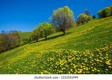 Beautiful spring landscape, dandellion field