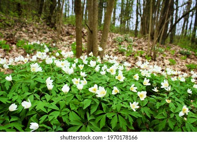 Beautiful spring landscape. Snowdrops and primroses in a forest clearing.