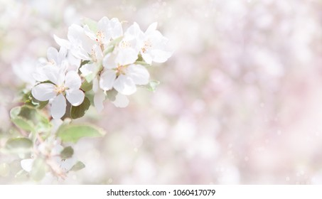 Beautiful Spring Nature background. Blooming of Apple trees. Blurred white and pink background with white Apple Flowers. Amazing Wide Angle Wallpaper or Web banner With Copy Space for design