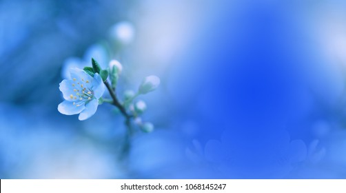 Beautiful Spring Nature Blossom Web Banner or Header.Tranquil Abstract Closeup Macro Photography.Print for Wallpaper.Floral Art Design. Blurred space for your text.Creative Artistic Blue Background.