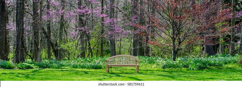 A beautiful spring  panorama landscape  of a park bench  in Michigan, with a lovely back drop of red bud trees and daffodils