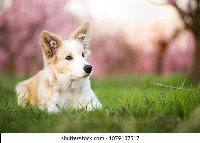 beautiful spring portrait of adorable ee red border collie puppy in the blossoming park