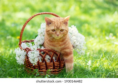 Beautiful spring portrait of a red kitten in a basket with white lilac flowers. The basket is on the grass