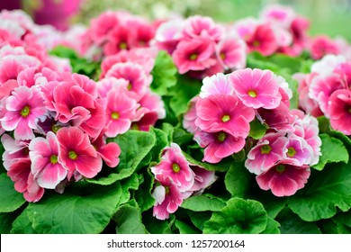 Beautiful of spring primroses flowers (primula polyanthus or Perennial primrose) with green leaves under sunlight in the garden on blurred natural background at spring or summer season. Nature concept