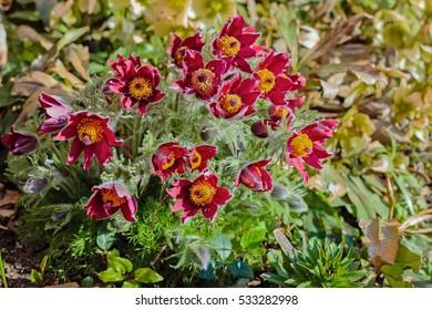 Beautiful spring red flowers pasqueflower garden. Pasqueflower (Pulsatilla vulgaris) in spring garden