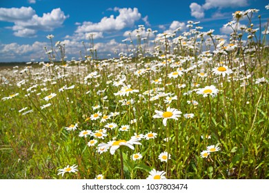 beautiful spring rural landscape with a flowering flowers on meadow and blue sky. wild flowers chamomiles blossoming on meadow. blooming white wildflowers camomiles
