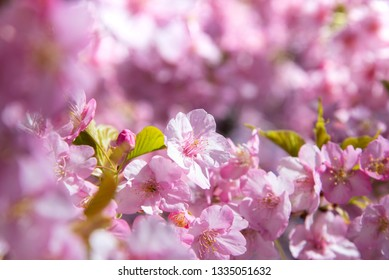 Beautiful spring Sakura flower or pink cherry blossom with depth of field
