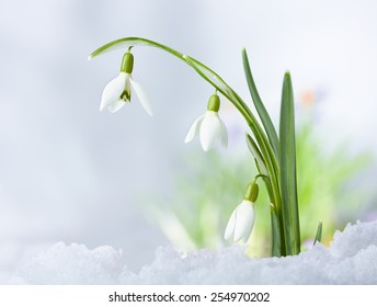 Beautiful Spring snowdrop flowers on snow background