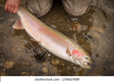 A beautiful spring steelhead, rainbow trout, caught on a fly by a fishermen, suspended in the water to soon be released.