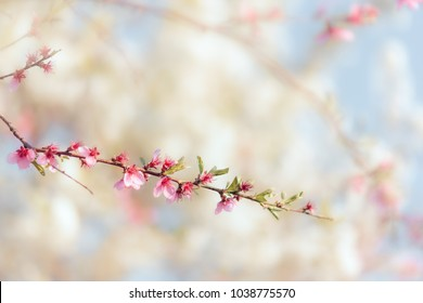 Beautiful Spring Tree Branch in Blossom. Pretty background of nature shot in springtime blooming moment