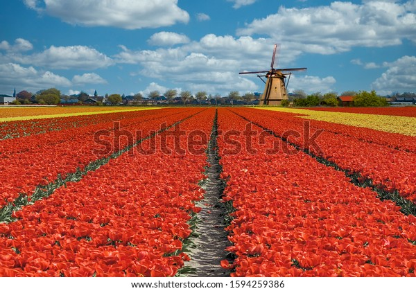Beautiful spring tulip bulbs farm at Keukenhof and Lisse Dutch city, one of the famous tourist spot of Netherlands