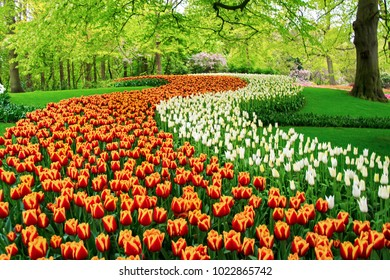 Beautiful spring tulips flowers in park in Netherlands (Holland)