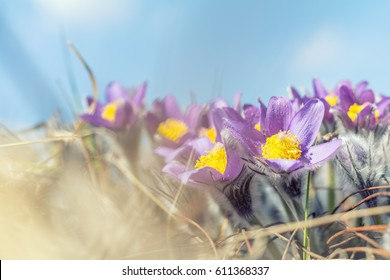 Beautiful spring violet flowers background. Eastern pasqueflower, prairie crocus, cutleaf anemone with water drops.Shallow depth of field. Toned. Copy space - Shutterstock ID 611368337