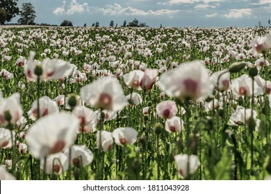 Beautiful spring vivid field of white blooming poppy.Poppies Flower Wallpaper.Panorama of a field of poppies against the cloudy blue  sky.Summer rural scene.Flower background soft selective focus