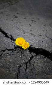 Beautiful spring yellow flowers in crack of asphalt pavement. Concept earth day, survive in cement ground, industrial damage for nature, symbol of strength, struggle for life, growth, thirst for life