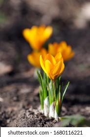 Beautiful spring-blooming yellow crocus outdoor