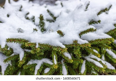 Beautiful spruce branches covered with snow. Winter landscape. Snow covered trees. Frozen twigs closeup. Selective focus.