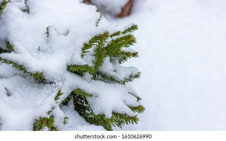 Beautiful spruce branches covered with snow. Winter landscape. Snow covered trees. Frozen twigs closeup. Selective focus. Copy space for text
