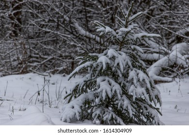 Beautiful spruce covered with snow, nature winter background . Winter landscape. Snow covered trees. Frozen twigs. Selective focus.