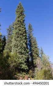 beautiful spruce forest in the mountains of Kazakhstan