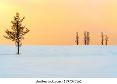 Beautiful Spruce pine trees on the Seven Mild Hill in winter twilight sunset in Biei, Hokkaido, Japan.