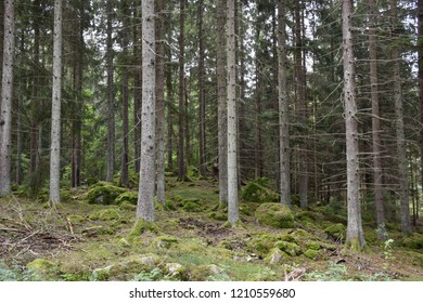 Beautiful spruce tree forest with tall trees