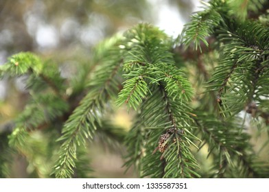 Beautiful spruce tree needles and twigs at soft bokeh background. Close up macro