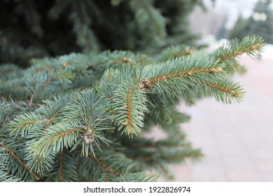 Beautiful spruces. Fir trees. Fir branches. Close-up shot of coniferous tree branches. Spruce needles. Main city square with big number of fir trees.