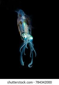 Beautiful Squid Night Diving