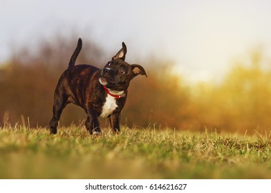 Beautiful Staffordshire Bull Terrier puppy stares and looks funny, sunset, dog trick