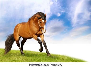 beautiful stallion galloping