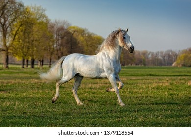 beautiful stallion of pura raza espanola running free in a meadow in nice evening sun light