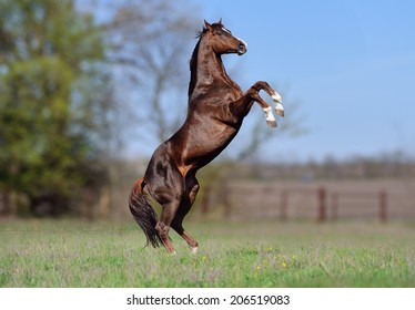 Beautiful stallion Thoroughbred breed, great-grandson of Secretariat Sports Meadow. Horse candles on a blurred background