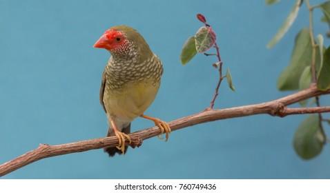 Beautiful star finch bird from Australia