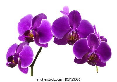 Beautiful stem of vibrant purple colored orchid flowers isolated on white background.