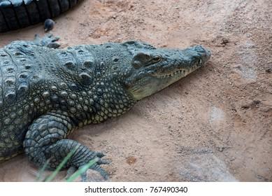 Beautiful still crocodile couple
