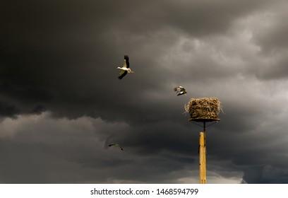 Beautiful stork family leaving the nest on storm sky background. Flying white storks. Poland.