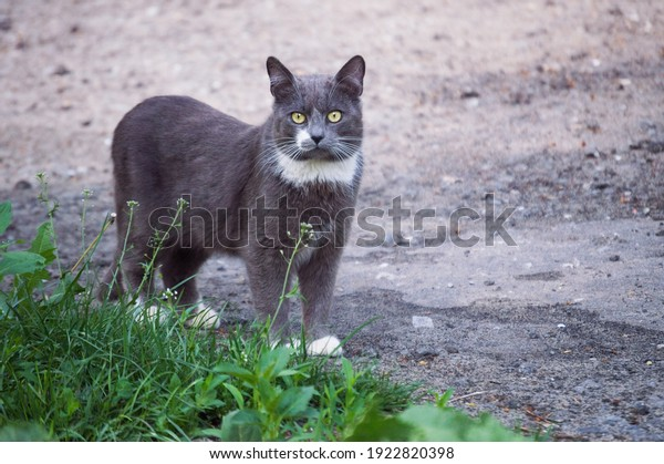 beautiful-street-grayblue-cat-white-600w