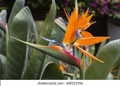 Beautiful Strelitzia Flowers in Tenerife, Spain.