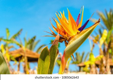 Beautiful Strelitzia orange flowers also known as Bird of Paradise on the background of blue sky