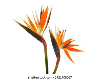 beautiful Strelitzia reginae flower isolated on white background