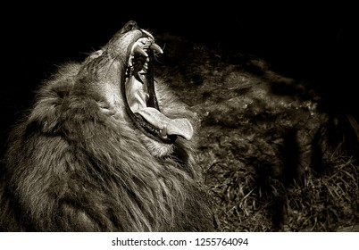 A Beautiful Striking Portrait Of a Angry Lion On Black