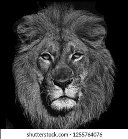 A Beautiful Striking Portrait Of a Lion On Black