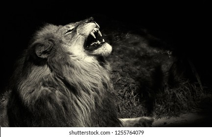 A Beautiful Striking Portrait Of a Lion On Black