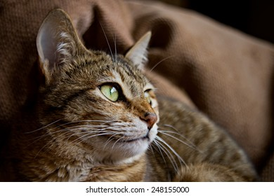 Beautiful striped brown cat. Shallow depth of field.
