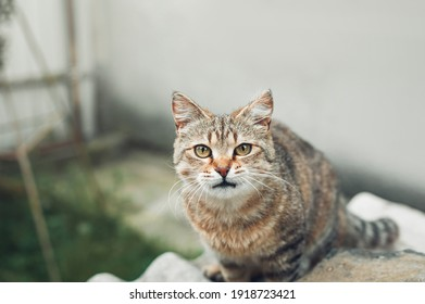 A beautiful striped brown-white cat with yellow eyes looks at the camera. Female cat walks on the street. The shot taken with a selective focus showing eyes cat.